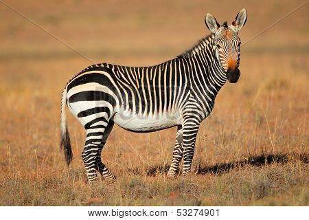 Cape Mountain Zebra (Equus zebra), Mountain Zebra National Park, South Africa