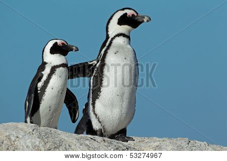 Pair of African penguins (Spheniscus demersus) against a blue sky, Western Cape, South Africa
