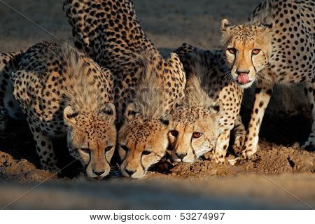 Alert cheetahs (Acinonyx jubatus) drinking water, Kalahari desert, South Africa