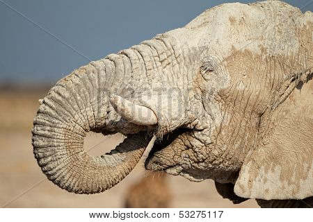African elephant (Loxodonta africana) covered in mud, Etosha National Park, Namibia