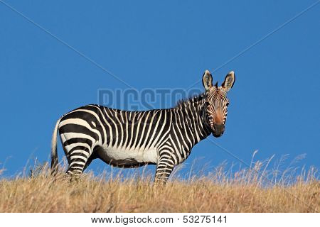 Cape Mountain Zebra (Equus zebra), against a blue sky, South Africa