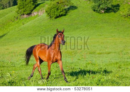 beautiful bay horse of the Arab breed