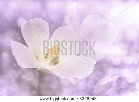 Dreamy image of a delicate wild Pink Poppy mallow in violet tone