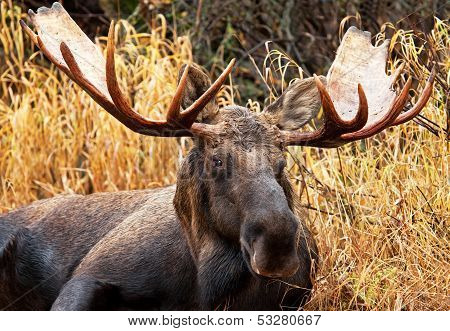 Moose Bull, Male, Alaska, USA