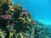 image of coral reefs  - Coral reef and tropical fishes in Red sea - JPG