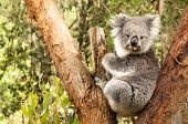 stock photo of koalas  - Australian Koala in the Eucalyptus Tree chewing a gum leaf - JPG