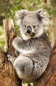 stock photo of eucalyptus trees  - Australian Koala in the Eucalyptus Tree chewing a gum leaf - JPG