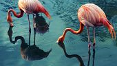 stock photo of flamingo  - Two flamingoes drinking in a pond - JPG
