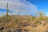pic of ocotillo  - Saguaro national park in arizona - JPG