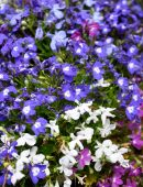 foto of lobelia  - Multicoloured lobelia flowers with rain water droplets - JPG