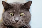 stock photo of eye-wink  - funny cat face british shorthair cat close up - JPG