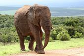 picture of veld  - Large male African elephant walking in the bush veld - JPG