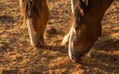 stock photo of clydesdale  - Two clydesdales feed on dry old grass in a drought hit land - JPG