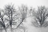 image of pecan tree  - trees in fog - JPG