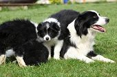 foto of bitches  - Border collie bitch with puppies in the garden - JPG