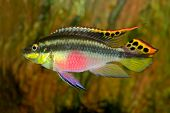 Colorful kribensis or purple cichlid (Pelvicachromis pulcher) from Nigeria