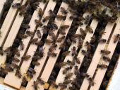 stock photo of honey bee hive  - Honey Bee Colony - JPG