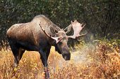 image of antlers  - Moose Bull with big antlers blowing steam - JPG