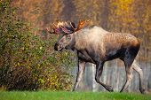 stock photo of bull  - Moose Bull with big antlers - JPG