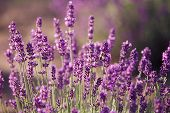 picture of lavender plant  - Lavender flowers in the field in sunny day - JPG