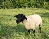 stock photo of suffolk sheep  - Sheep of Highland Black-faced breed on meadow