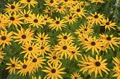 image of black-eyed susans  - Daisy Black Eyed Susan perennial flowering plant in a garden - JPG
