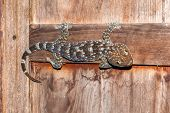 stock photo of tokay gecko  - big tokay thai  gecko on wood windows - JPG