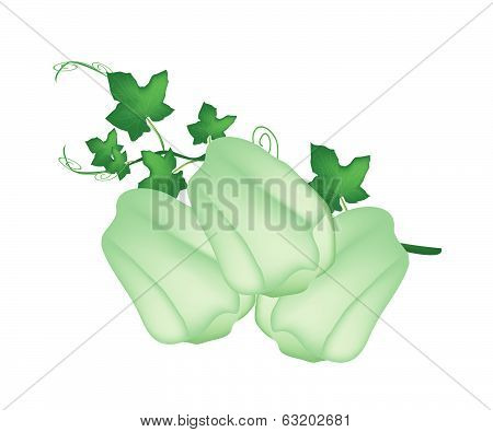 Fresh Green Chayote Fruits With A Plant