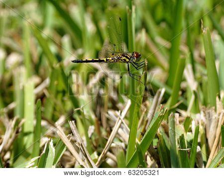 Marl Pennant Dragonfly