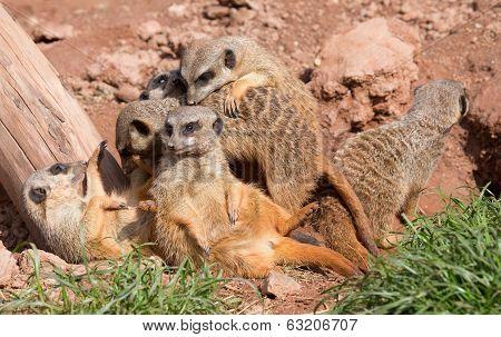 group of suricates