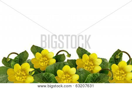Lesser Celandine Flowers