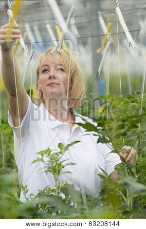 Blond woman forty years old working in a greenhouse