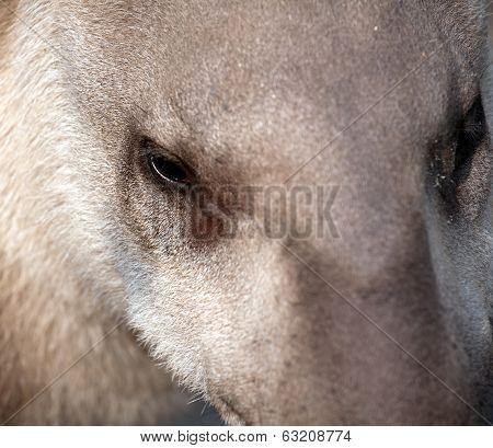 Tapir Snout Closeup Portrait