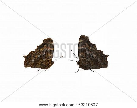 Pair Of Brown Butterflies (type Vanessa) Isolated