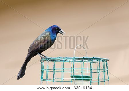 Grackle On Cage