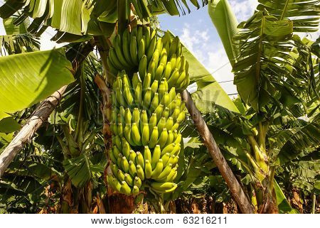 Bananas Growing, Puerto De La Cruz, Tenerife, Canary Islands, Spain.