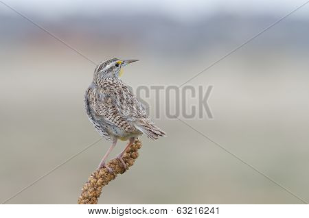 Western Meadowlark Back View
