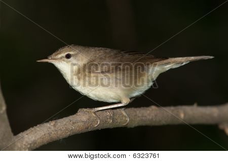 Acrocephalus Dumetorum, Blyth's Reed Warbler
