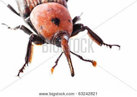 Weevil Macro