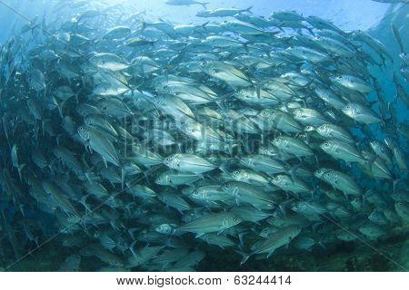 Huge School of Bigeye Trevally fish (Jackfish)