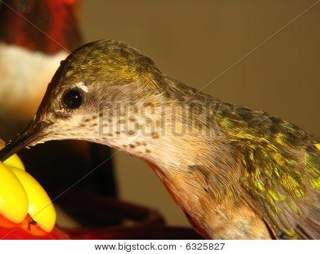 Humming Bird eating at feeder.