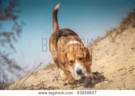 Beagle Dog Walking On The Wild Nature