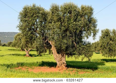 Old Olive Trees Near Torre Canne (italy)