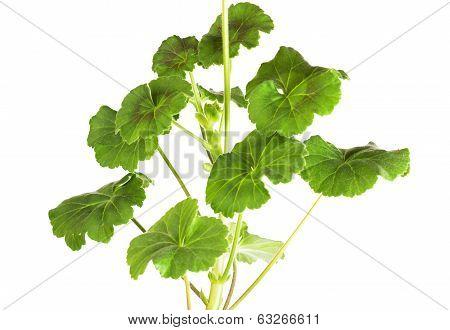 Leaves of a geranium
