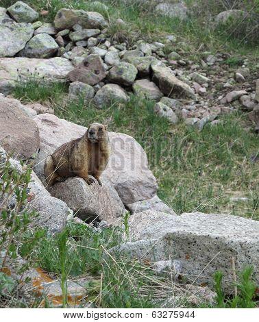 Marmot among the stones