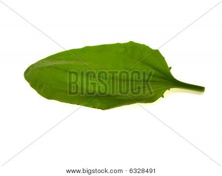 Green Leaf Of A Plantain