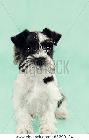 Parti Color Miniature Schnauzer Against Blue