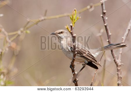 Northern Mockinbird, Mimus polyglottos, a very vocal songbird perched on a twig in early spring