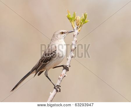 Northern Mockinbird, Mimus polyglottos, a very vocal songbird perched on a twig in early spring, against muted background