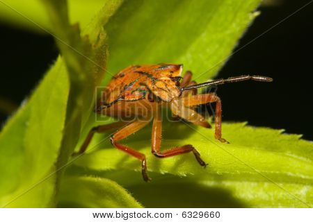 Shield Bugs, Also Known As Stink Bugs.